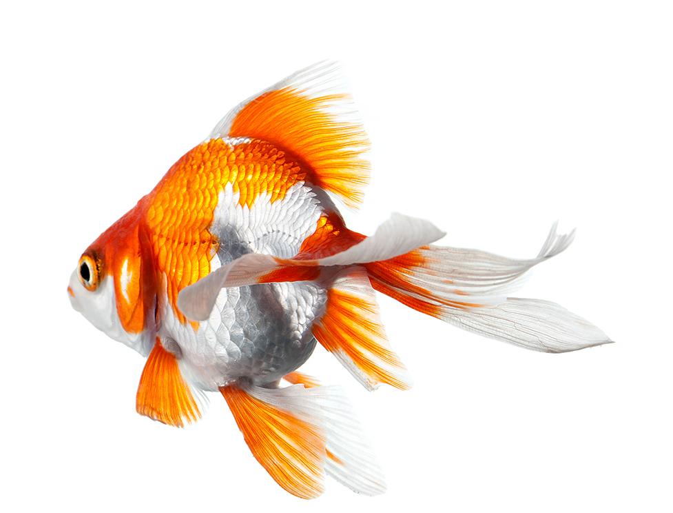 baby goldfische